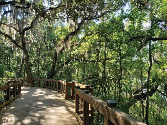 Oaks along the Lafayette Heritage Trail.