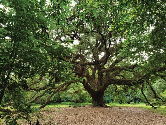 The Lichgate live oak. The Tallahassee Garden Club is seeking nominations of your favorite live oak to become part of the Third Live Oak Trail.