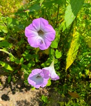 Don't miss out on the annual heirloom re-seeding petunia; the seeds were collected at Tall Timbers and were originally planted by Genevieve Beadel in the 1920s. They come back every year!