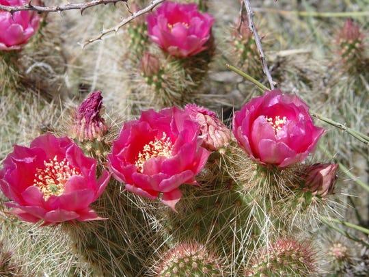 Magenta flowered Mojave prickly pear, Opuntia polyacantha var. erinacea is, a beautiful desert native.