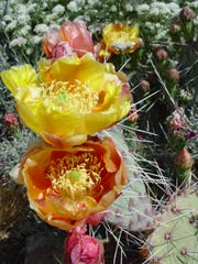 An unnamed tricolor beauty opens orange, matures yellow then fades to apricot all at the same time.