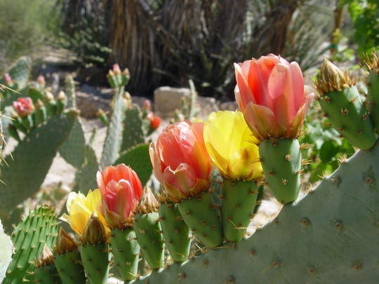 The big, rangy cow's tongue Opuntia shows yellow peach and red all on the same plant.