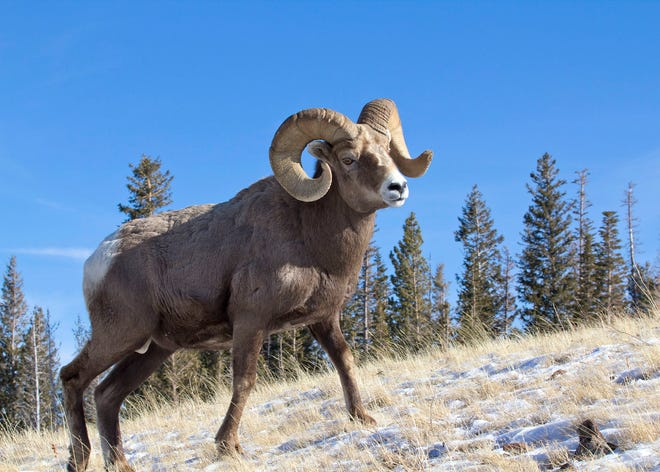 File photo of a bighorn ram. This is not the ram that was poached.
