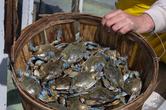 Brian Hoffecker shows off his catch after a cold day crabbing in the Delaware Bay on Wednesday, April 15. He's kept working through the coronavirus pandemic, but has a harder time selling his catch because so many restaurants are closed.