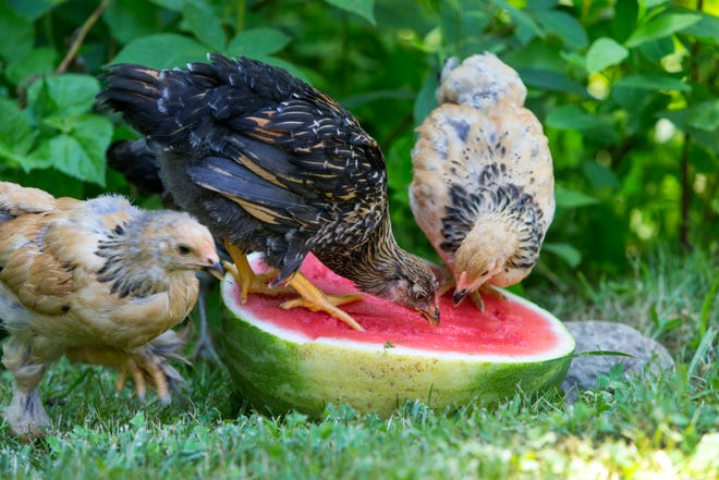 """Garden produce is favored by chicken as well as gardeners. From """"Backyard Chickens: Beyond the Basics."""""""