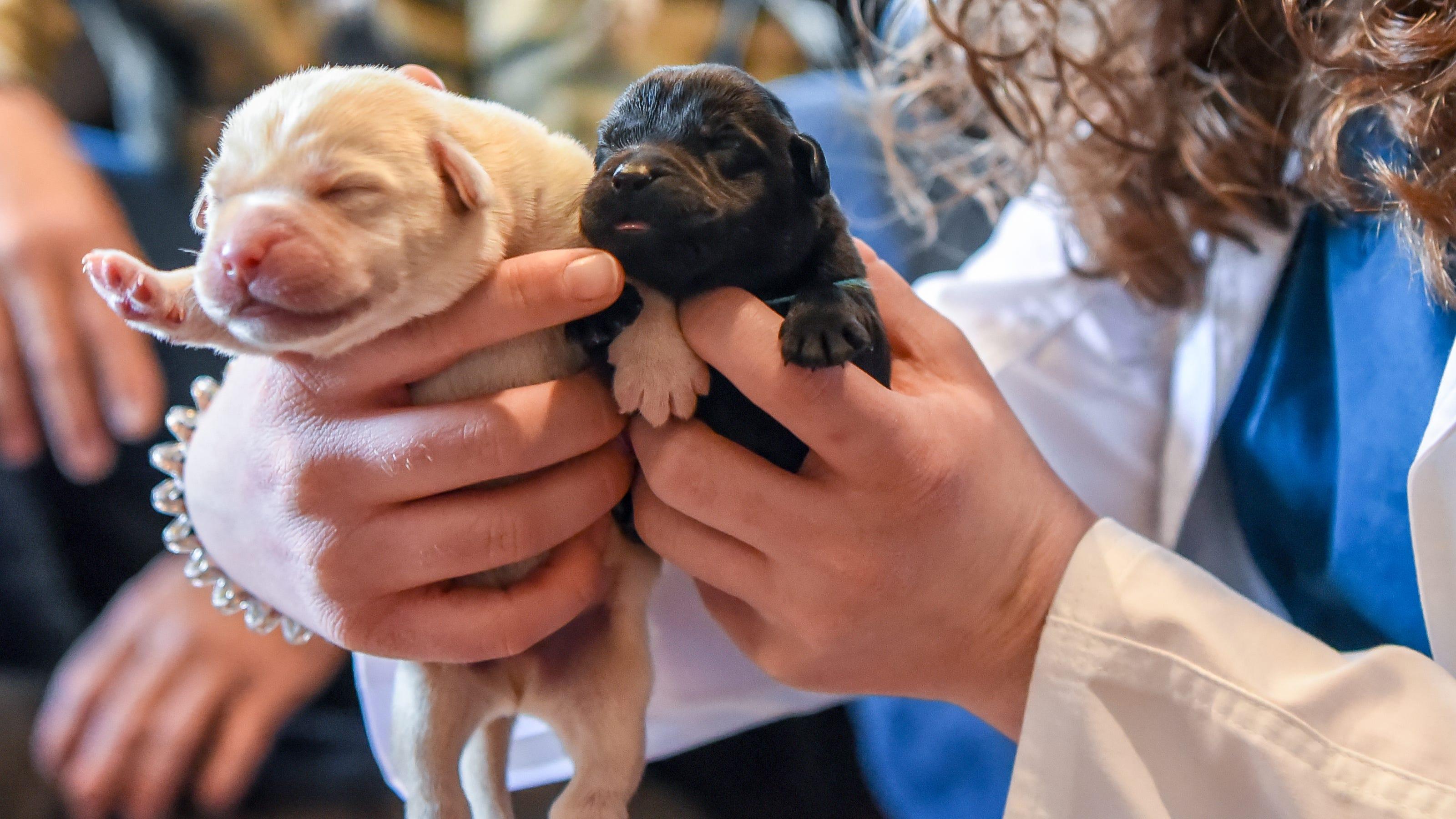Bergen County Veterinary Center helps deliver litter of Labrador pups