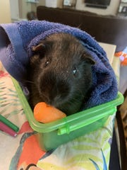 Deerlake Middle School teacher Erin Smidt adopted classroom pet PJ the guinea pig during the novel coronavirus pandemic in April, 2020.