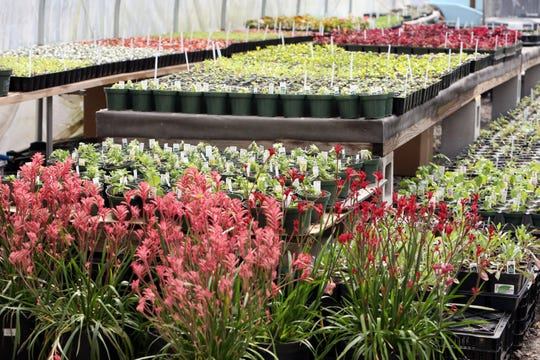 Flowers and plants at the Shades of Green greenhouse in Shrub Oak April 15, 2020.