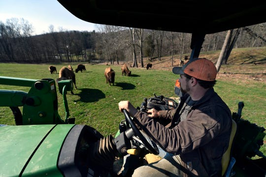 Dave Groff drives his tractor through a field of buffalo on his farm in Martic Township, Pa.