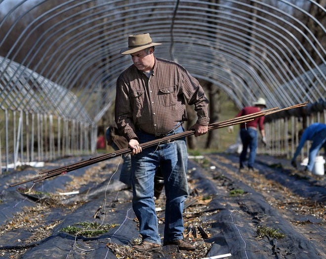Steve Groff cleans up one of the high tunnels, as they get ready to plant tomatoes on his farm in Martic Township, Pa.