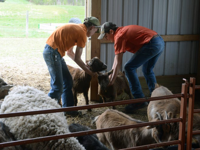 4-H participants Jack, left, and Eli McDonald tend to their goats on Wednesday at their family farm off Adamsville Road. The brothers, who attend Tri-Valley, are still participating in projects despite COVID-19 restrictions.