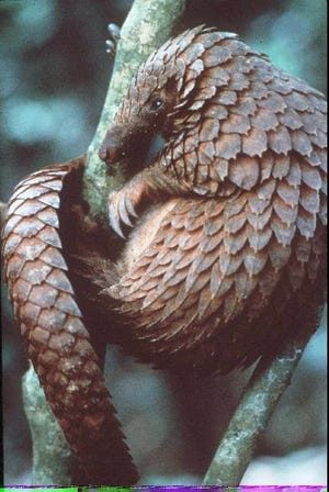 The armored pangolin with its powerful claws and sensitive nose, shown in this undated file photo. (AP Photo/HO,George Steinmetz)
