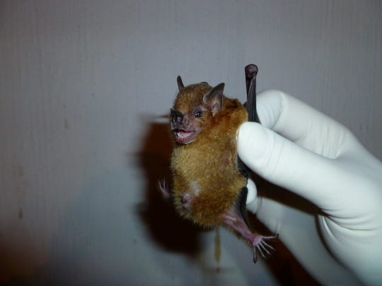 The influenza virus has recently been detected in this bat species in Guatemala. AP In this undated photo provided by the Centers for Disease Control and Prevention, a Sturnira lilium, the host species of bat that the influenza virus has recently been detected in, is shown in Guatemala. The surprising discovery of genetic fragments of a flu virus is the first well-documented report of it in the winged mammals Scientists suspect some bats caught flu centuries ago and the virus mutated within the bat population into this new variety. (AP Photo/Centers for Disease Control and Prevention, Amy Gilbert)