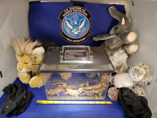 Five armadillo girdled lizards hidden in stuffed animals were rescued by U.S. Customs and Border Protection officers.