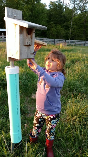 Sofia Ollervides carefully inspects the Eastern bluebird house with her parents' supervision and found this nest with bluebird eggs.