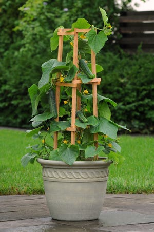 Cucumbers can thrive in a pot. In fact, most vegetables and herbs can.