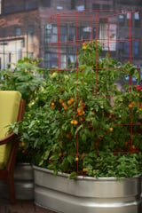 A big planter is more than enough to grow tomatoes for home use.