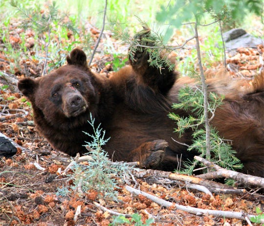 A playful bear was captured by the camera of a Ruidoso resident.