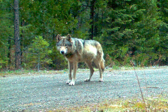 This remote camera file photo taken May 3, 2014, and provided by the Oregon Department of Fish and Wildlife, shows the wolf OR-7 on the Rogue River-Siskiyou National Forest in southwest Oregon. Authorities believe the wolf, which made world headlines when it wandered from Oregon to California, is dead.