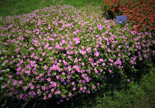 Purslane requires full sun and will do best in hot, dry conditions.