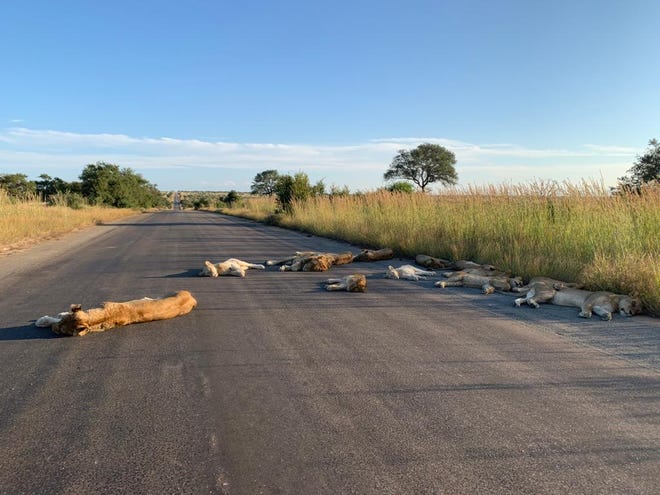 A pride of lions from South Africa's Kruger National Park was caught napping on an empty road that would otherwise be filled with tourists.