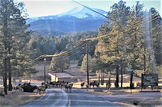 With Sierra Blanca Peak in the background, one of Ruidoso's large elk herds wanders across Cree Meadows Drive by village hall.