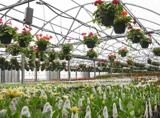 Plants hang in the greenhouse at Thomsens Garden Center Saturday, April 18, 2020, in St. Joseph.