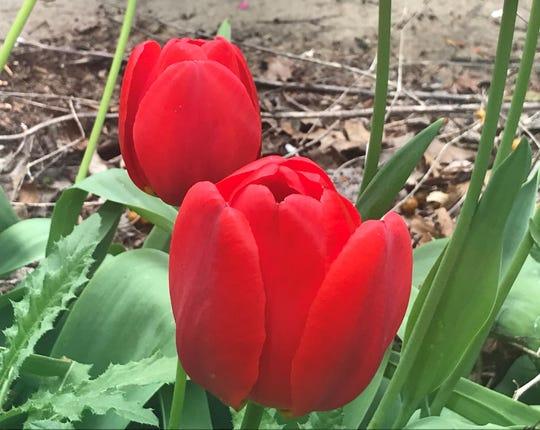 Tulips grow in a Cherry Hill garden.