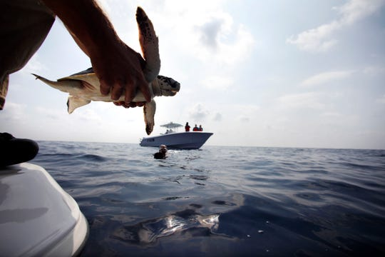 Dr. Bob MacLean, Audubon Institute senior veterinarian, releases a sea turtle in 2010 that had previously been impacted by oil from the Deepwater Horizon oil spill, back into the Gulf of Mexico, 45 miles off the coast of Louisiana.