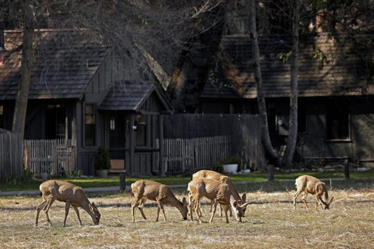 Deer feed in Yosemite Valley on April 11, 2020. Yosemite National Park is closed to visitors due to the coronavirus, Covid 19. Animals roam the park without having to worry about crowds of people. Madera County on Saturday, April 11, 2020 in Yosemite National Park, CA. (Carolyn Cole / Los Angeles Times/TNS)