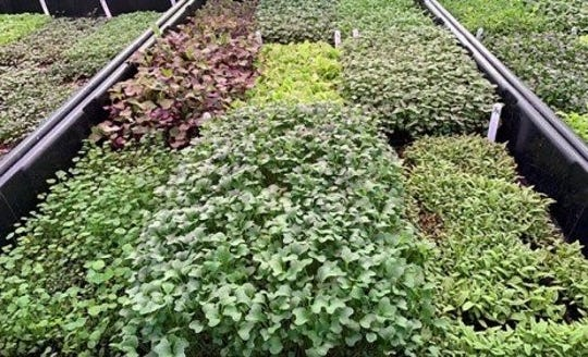For many gardeners who are challenged with minimal garden space or if you would like to grow plants in the winter, a mini-edible garden is an option.