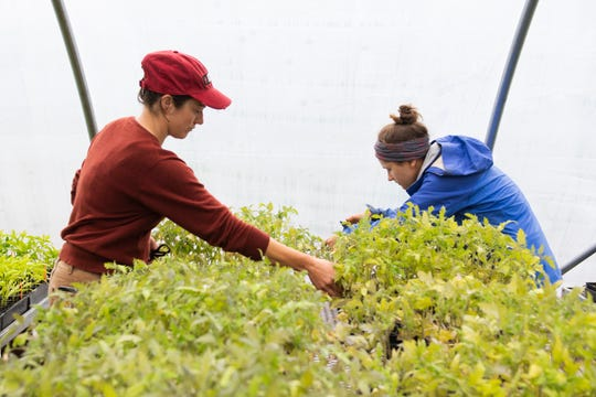 Emily Perkins (left) and Alex Prusator tend to tomato plants in the greenhouse at Bio-Way Farm in Ware Shoals Monday, April 20, 2020.