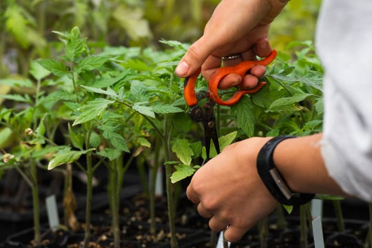 Alex Prusator tends to tomato plants in the greenhouse at Bio-Way Farm in Ware Shoals Monday, April 20, 2020.
