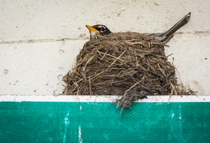 A robin nests on a street sign in Muncie Monday, April 20, 2020.