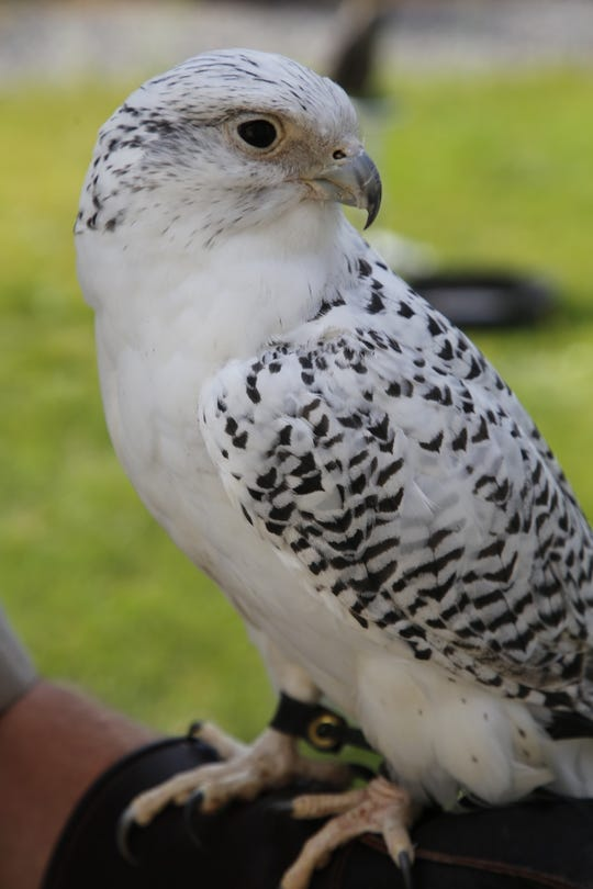 Comet, a white, male gyrfalcon, will join Raptors Wild cofounder Mike Fauteaux in a tour of local nursing homes in May.