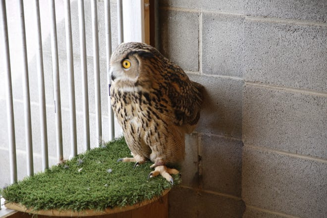 Spooky, a Eurasian eagle owl, will be featured in a series of presentations of Raptors Wild birds that cofounder Mike Fauteaux is planning in May at local nursing homes.
