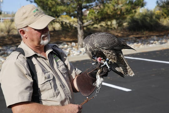 Crash, a young hybrid falcon, devours a quail while resting on the arm of Raptors Wild cofounder Mike Fauteaux in September 2019 in Aztec.