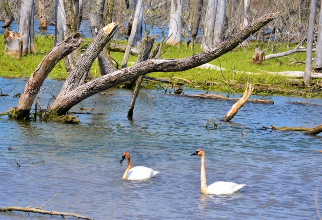 Trumpeter swans, their necks stained from foraging in the iron-rich water, swim and eat at Ottawa National Wildlife Refuge on Saturday. Although the refuge's Visitor Center is temporarily closed and its programs canceled due to Ohio's Stay at Home order, the walking trails are still open to locals.
