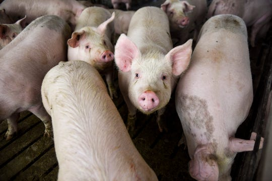 Hogs are kept in a barn, ready to be sold on Tuesday, April 14, 2020, at Prestige Pork in Inwood, Iowa. Mike Ver Steeg, 47, runs Prestige Pork, with the help of his son, and sells his hogs to the John Morrell & Co. plant in Sioux Falls, now owned by the Virginia-based processing company Smithfield Foods. Smithfield's indefinite closure of its Sioux Falls plant due to the coronavirus pandemic forced Ver Steeg to start looking for alternatives and to consider the future of his farm. (Abigail Dollins/The Argus Leader via AP)