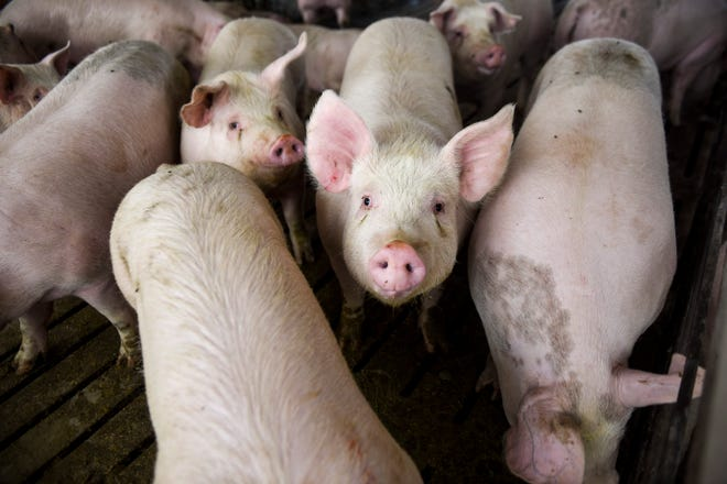 Hog producers could weather another hard year due to higher feed costs and continuing effects of coronavirus pandemic.