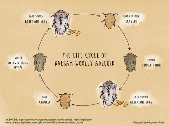 The life cycle of balsam woolly adelgid