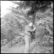 Hoover Lambert, an entomologist with the U.S. Forest Service, checks a Fraser fir tree for balsam woolly adelgid in the summer of 1965 -- soon after the adelgid was discovered in the Great Smoky Mountains National Park.