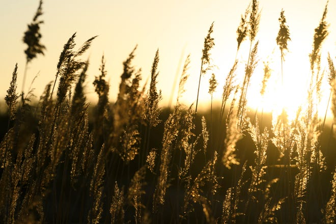 Reeds rustle in the wind as the sun rises over Blue Grass Fish & Wildlife Area in Chandler, Ind., Tuesday morning, April 21, 2020.