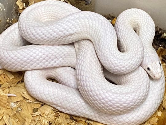 Most of the reptiles removed from a West Allis home on April 19 were snakes.