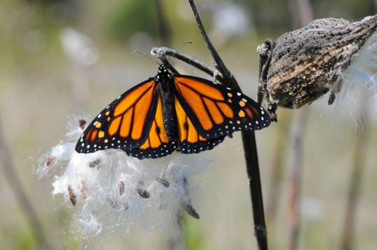 A monarch butterfly rests on a milkweed pod.