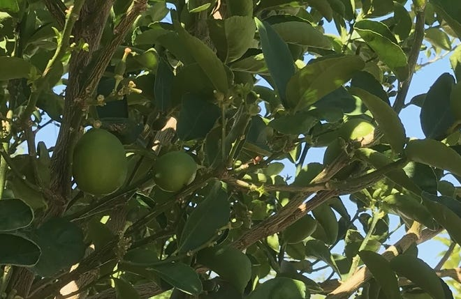 We should gather and donate to those in need surplus fruit that's ripening now across the Coachella Valley, a Desert Sun reader suggests.