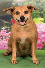 If you're interested in adopting Sheba, make an appointment to meet Sheba by calling 480-497-8296 or e-mail FFLdogs@azfriends.org