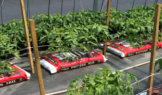 Bags of potting soil can be ingenious containers for growing tomatoes.