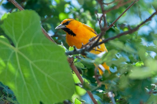 This male Bullock's oriole is one of many seasonal migrants that flies between Northern California and Mexico.