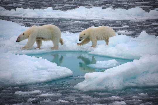 Polar bears walk on Arctic sea ice. Sea ice cover is a hunting ground and habitat for polar bears and seals, and keeps the Arctic cool by reflecting sunlight.